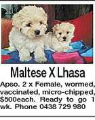 Maltese X Lhasa Apso. 2 x Female, wormed, vaccinated, micro-chipped, $500each. Ready to go 1 wk. Phone 0438 729 980