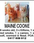MAINE COONE 8 weeks old, 3 x Kittens, 1 x red smoke, 1 x cameo, 1 x self, wormed &amp;amp; flead. POA 0417 609 912