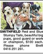 SMITHFIELD Red and Blue Stumpy Tails, beautiful big pups, good guard or work or champion, $100 each. Please phone Brett 0416 251 261.