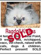 Ragdoll Kittens D SOL 4 female Blue & Seal Point, 9 weeks old, m/chipped, vacc, vet check, raised with cats, dogs & children. Perfect present! SOLD