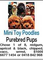Mini Toy Poodles Purebred Pups Chose 1 of 8, redgum, apricot & black, chipped, vacc, wrmd, $1000 6677 1454 or 0418 842 968