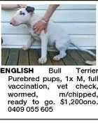 ENGLISH Bull Terrier Purebred pups, 1x M, full vaccination, vet check, wormed, m/chipped, ready to go. $1,200ono. 0409 055 605