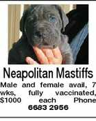 Neapolitan Mastiffs Male and female avail, 7 wks, fully vaccinated, $1000 each Phone 6683 2956