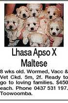 Lhasa Apso X Maltese 8 wks old. Wormed, Vacc & Vet Ckd. 5m, 2f. Ready to go to loving families. $450 each. Phone 0437 531 197. Toowoomba.