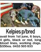 Kelpies p/bred avail from 1st june, 6 boys, 4 girls, black or red, long blood lines, working dogs. $350ea. 0433 505 833