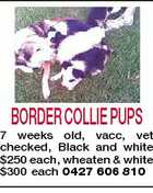 BORDER COLLIE PUPS 7 weeks old, vacc, vet checked, Black and white $250 each, wheaten & white $300 each 0427 606 810