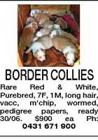 BORDER COLLIES Rare Red & White, Purebred, 7F, 1M, long hair, vacc, m'chip, wormed, pedigree papers, ready 30/06. $900 ea Ph: 0431 671 900
