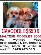 CAVOODLE $650 & MALTESE POODLES $550 ea, wormed vacc m'chipped, 2 f, 1m, brown & white, black & white & apricot. 0429 470 013
