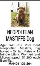 NEOPOLITIAN MASTIFFS Dog Age: 6WEEKS, Pure bred Neopolitian Mastiffs, big boned - 2x tan Males + 1x brindle bitch. Wormed and Microchipped, $1,200 each Bonville. M:0405 123 264