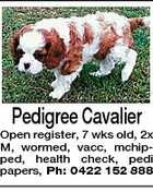 Pedigree Cavalier Open register, 7 wks old, 2x M, wormed, vacc, mchipped, health check, pedi papers, Ph: 0422 152 888
