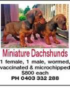 Miniature Dachshunds 1 female, 1 male, wormed, vaccinated & microchipped $800 each PH 0403 332 288