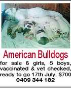 American Bulldogs for sale 6 girls, 5 boys, vaccinated & vet checked, ready to go 17th July. $700 0409 344 182