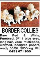 BORDER COLLIES Rare Red & White, Purebred, 5F, 1 blue eyes, long hair, vacc, m'chipped, wormed, pedigree papers, ready 30/06. $850neg. Ph: 0431 671 900