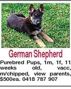 German Shepherd Purebred Pups, 1m, 1f, 11 weeks old, vacc, m/chipped, view parents, $500ea. 0418 787 907
