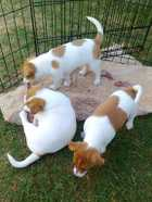 Jack Russell Puppies 2 F / 1M, 8 weeks, vacc, vet check, good colour, view the parents $375 each Phone 46352782