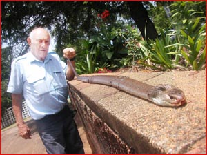 Snake catcher Peter Cantarella caught this 2m king brown in his backyard yesterday. pic: DAN IMHOFF