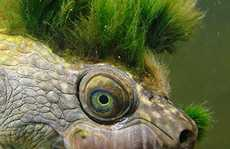 Mary river turtle algae - photo#22