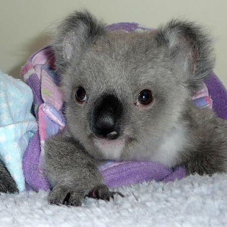 May 7th - Koalas : SketchDaily