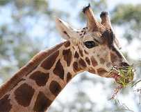 A giraffe at Australia Zoo is pregnant.
