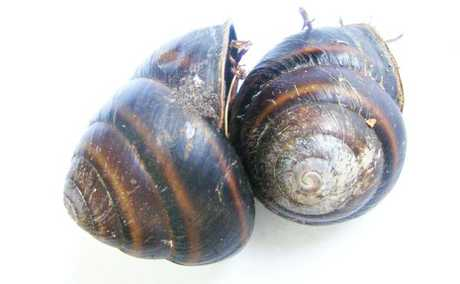 TWO MORE: A pair of the critically endangered Mitchell's rainforest snail has been found at Lennox Head, making a total of three found in six months.