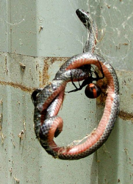 An eastern small-eyed snake became trapped in a red-back spiders web.