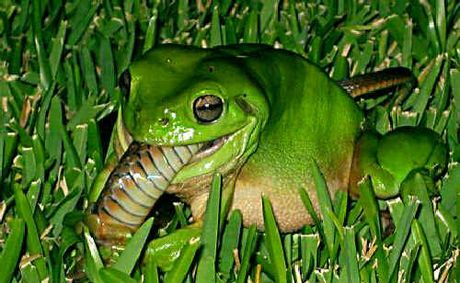 mackay man was surprised to find this green frog devouring what