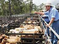 SULLIVAN Livestock yarded 1275 cattle at their Gympie Cattle Sale held Monday July 8, with heavy meatworks cattle selling to a slightly dearer market.