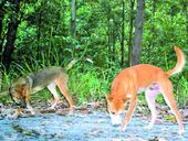 GPS trackers are being fitted to wild dogs in peri-urban areas to gain a better understanding of their habits and their movements.