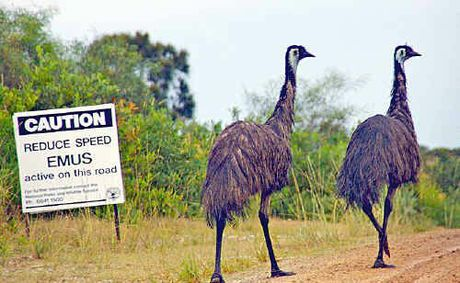 Coastal emus in Yuaygir National Park. Photo by J Wardell.