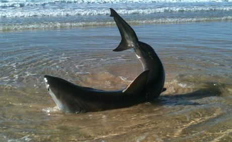 A great white shark washed up on Hungry Head Beach.