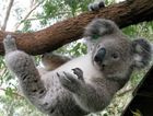 HANGING ON: Rapid contraction of their habitat is threatening the future of the Tweed's koala population.