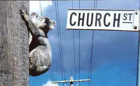 A koala makes itself at home on Church Street. Acland's new status as a ghost town has been a boon to local wildlife - but what will happen to them if the town is destroyed?