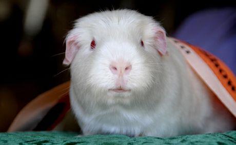 Banshee the guinea pig.