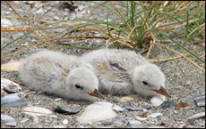 Fairy tern chicks - most endangered bird in New Zealand. Picture/Rex Williams