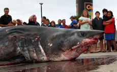 The near-record 384.2kg mako landed by Coruba fishing tournament stalwart Graeme Bee.