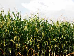 International wheat prices have climbed heavily in the last month after several maize crop downgrades by the United States Department of Agriculture (USDA), as the Midwest 'corn-belt' gets baked.