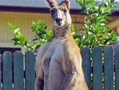 SKIPPY the kangaroo has been blamed for a knife attack by the same man who recently blamed a dingo for the same crime.