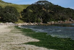 Sea lettuce on Mount Maunganui's Main Beach.