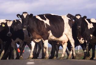 Twenty-five of the 135 dairy cow herd on the property had to be put down due to the serious pain and distress they were in.