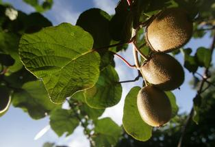 Florists are being asked to avoid using kiwifruit plant material in bouquets amid fears it may be contributing to the spread of Psa-V.