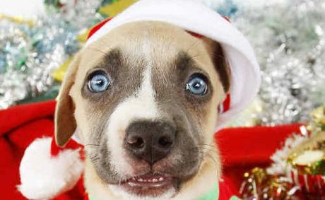 Pets are being spoilt with gifts this Christmas like this American Staffy puppy from the North Ipswich Pet Shop.