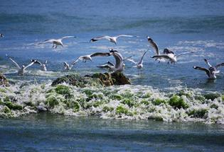 Seagulls amid sea lettuce. Readers photo.