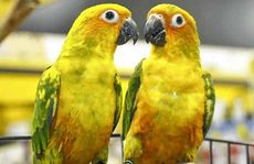 "Pet Barn's Sun Conures ""Barney and Petra"" are painting up a storm and will be ""hosting"" an art exhibition in the next few months."