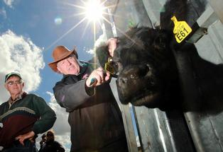 A radio frequency identification tag will be used to track cattle as part of the National Identification