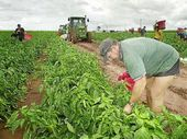 Barbera Family Farms' Kevin Sergiacomi battles the muddy conditions while picking capsicums yesterday.