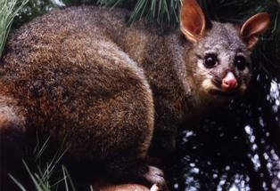 Possums don't feature on the list of the world's deadliest creatures.