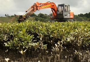 On the mudflats of Tauranga Harbour removing mangroves.