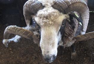 The Arapawa sheep bears little resemblance to its merino ancestors.