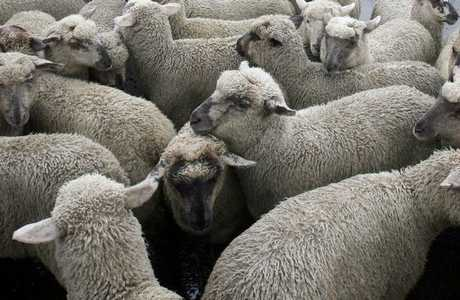 Over 20 sheep died after stray mob got in the way of incoming traffic. Photo / File