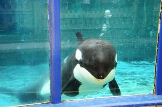 Morgan's supporters have lost their battle to set the young orca free